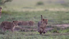 African lion (Panthera leo) and cubs in Kenya's Maasai Mara National Reserve
