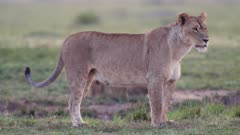 African lion (Panthera leo) with cubs keeps watch in Kenya's Maasai Mara National Reserve