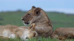 African lions (Panthera leo) resting in Kenya's Maasai Mara National Reserve