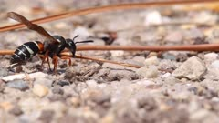 Purbeck Mason Wasp (Pseudepipona herrichii) removes spoil from its burrow on heathland in Dorset, United Kingdom
