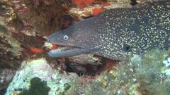 Muraena helena - moray eel - Mediterranean moray