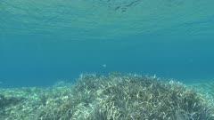 Posidonia oceanica - Ocean grass-wrack, Neptune grass