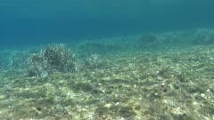 Posidonia oceanica - Ocean grass-wrack - Neptune grass