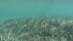 Sparus aurata - Gilthead seabream - Ocean grass-wrack, Neptune grass