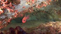 Cardinal-fish - Apogon imberbis