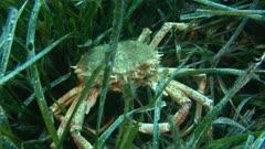 Common spider crab, king crab