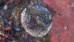 Violet sea urchin - Sphaerechinus granularis