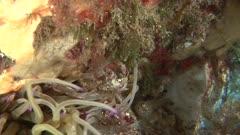 Anemone spider crab - Snakelocks anemone