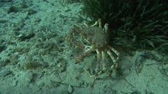 Common spider crab, king crab- Attack