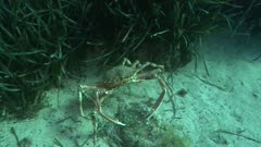 Common spider crab, king crab - Attack