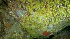 Yellow encrusting anemone