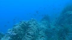 Castagnole- Damselfish, blue Damselfish - Chromis chromis