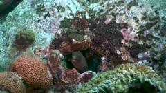 Murène-porcelaine - Conger moray - Gymnothorax miliaris