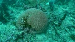 Corail-cerveau de Neptune - Grooved brain coral - Diploria labyrinthiformis