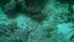 Porc-épic ballon - Balloonfish - Diodon holocanthus