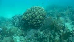 Corail-étoilé lobé - boulder star coral - Orbicella annularis