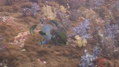 Moon Wrasse, Thalassoma Lunare, Eat Crowned Jellyfish, Cephea Cephea