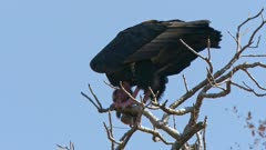 Low angle shot of a red headed vulture feeding on a piece of carrion while perched on a tree