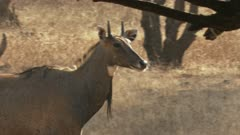 Close up of a neelgai walking through a forest, stops and watches its surrounding and then moves away from camera while wagging its tail