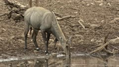 Nilgai drinking water and looking around