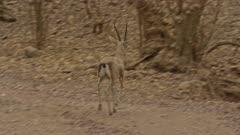 chinkara runs across the forest path