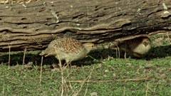Indian Quail Bird walking,searching insects,eating