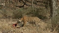 Tiger (bengal tiger) dragging the sambar kill into the bushes