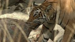 Closeup of Tiger (bengal tiger) dragging the sambar kill