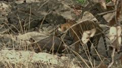 Tiger (bengal tiger) eating the sambar kill at the forest