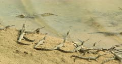 Gharial babies waiting for mother at the watershore