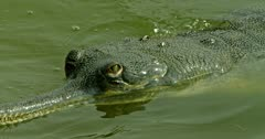 Gharial swimming on the water
