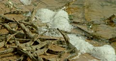 Gharial babies lying down and waiting for mother at the water shore