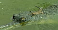 Mother Gharial on the water, baby gharial climbing on mother head, mother moves into under water