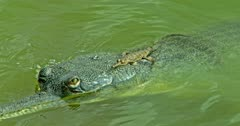 Mother Gharial on the water, baby lying down on the mother and moves into under water