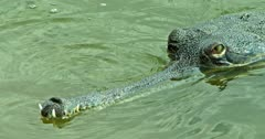 Closeup of Gharial on the water, watching
