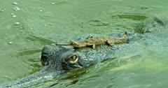 Baby Gharial lying down on mother's head