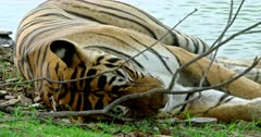 Tiger lying down at the lake shore, alert