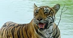 Tiger sitting at the lake shore, looking around, inhaling