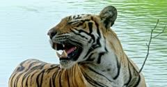 Tiger sitting at the lake shore, Resting, inhaling, alert