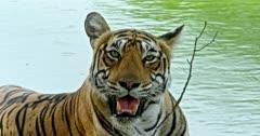 Tiger sitting at the lake shore, looking around, inhaling, alert