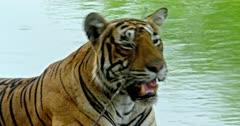 Tiger sitting at the lake shore, inhaling