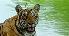 Tiger sitting at the lake shore, inhaling, looking around