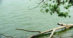 Crocodile hiding in the greenish water of Ranthambore lake
