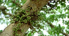 Green berries on the tree