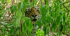 Tiger sitting in the bush, inhaling and watching around