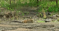 Tiger walking on the rock in dryland