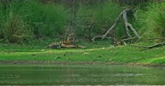 Mother tiger sitting at the lakeshore, grooming and feeding her cubs, cubs walking, sitting and playing