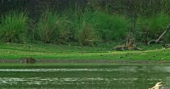 Mother tiger sitting at the lakeshore, grooming and feeding her cubs, cubs walking, sitting and playing, cub drinking water from lake