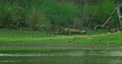 Mother tiger lying down at the lakeshore and feeding her cubs, cubs walking, sitting and playing
