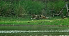 Mother tiger lying down at the lakeshore, feeding and grooming her cubs
